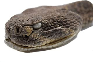 Chichester Inc Real Rattlesnake Head : Closed Mouth (AZ-598-P518)