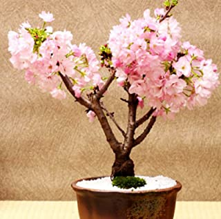 HOT! 10 Pcs Rare Pink Japanese Sakura Seeds indoor Cherry Blossom Bonsai Flower Sakura Tree DIY seeds of perennial garden flowers