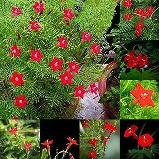 Narutosak 50 Pcs Cypress Vine Seeds Annual Climbing Plant Flower Garden Home Decor Bonsai - Cypress Vine Seeds