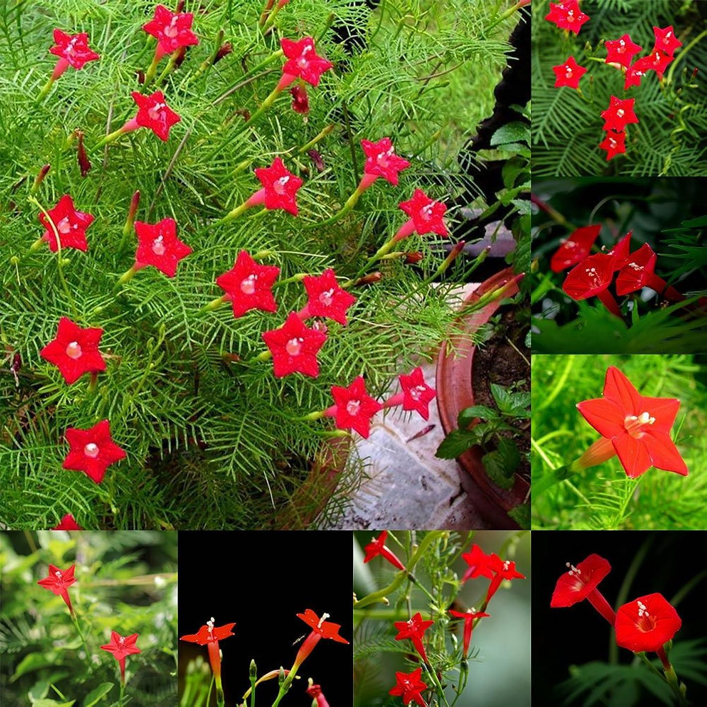 Home Decor Plants Flowers Seeds 50 Pcs Cypress Vine Seeds Annual Climbing Plant Flower Garden Home Decor Bonsai - Cypress Vine Seeds
