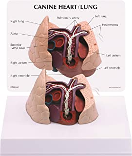 Canine/Dog Heart & Lung Anatomy/Anatomical Model #9151