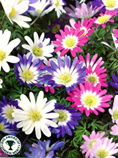 ANVIN Seeds Package: : Anemone Blanda Garden Seed Corm Hanging Basket Flower Seeds Now