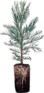Best sequoia seedlings for sale Reviews