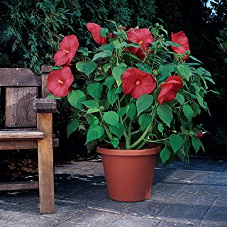 Outsidepride Hibiscus Luna Red Flower Seeds - 20 Seeds