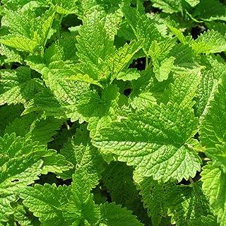 بسته 50 دانه سیلرونلا مومیایی دانه (Melissa officinalis)