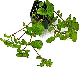 creeping charlie plant care
