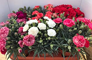 Clavel Pack 6 Plantas Naturales (DIANTHUS CARNELIA) 13 cmø - Vipar Garden 2