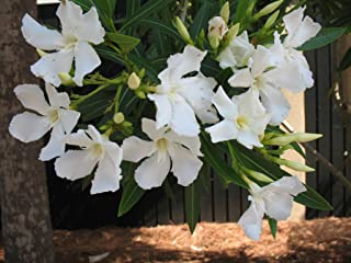 Live Oleander (Single, White) aka Nerium Oleander 'Sister Agnes' Plant Fit 1 Gallon Pot