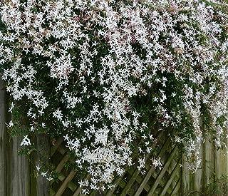 Jasminum officinale Grandiflorum Hardy Jasmine 1 Plant!