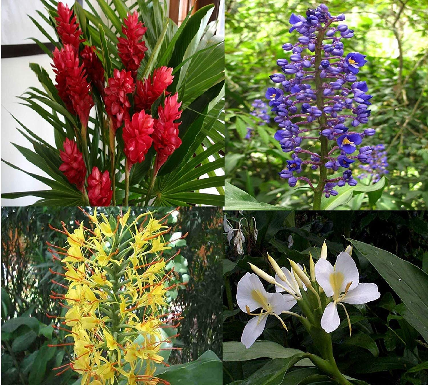 Ginger Opening large release sale Plant Root Red Blue 4 Overseas parallel import regular item Yellow White Hawaiian
