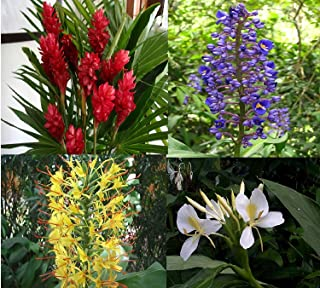 Ginger Plant Root Red Blue White Yellow Hawaiian 4
