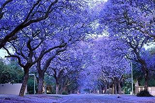 Blue Purple Jacaranda Jacaranda Mimosifolia Tree Shrub Heirloom 30 Bulk Seeds