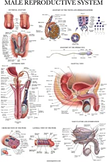 Sponsored Ad - Laminated Male Reproductive System Anatomical Chart - Male Anatomy Poster - 18