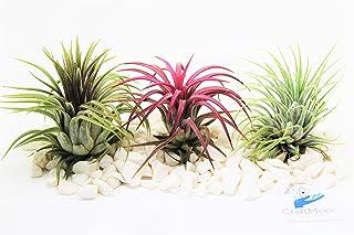 Air Plants Tillandsia x3 Ionantha Red, Green & Rubra