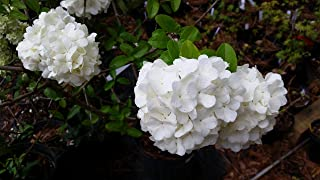 (3 gallon) BLUSHING BRIDE endless summer HYDRANGEA, pure white semi-double florets,which mature to blush pink or Carolina blue, depending on soil pH, can take cold from -20 to -30 F ie zone 4-5