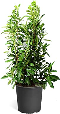 Brighter Blooms Skip Laurel Shrub- The Ultimate Easy-Care Hedge | Grows in The Shade | Luxurious, Glossy Foliage | No Shippin