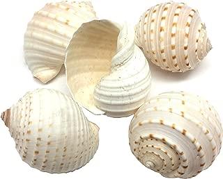 PEPPERLONELY 5 PC Spotted Tun Shells, Tonna tesselatta Shells for Hermit Crab Shells, 3 Inch