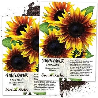 Seed Needs, Firecracker Sunflower (Helianthus annuus) Twin Pack of 85 Seeds Each