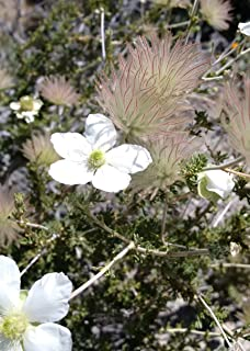 apache plume seeds