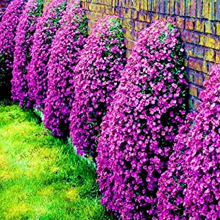 purple carpet creeping thyme