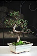 Hot Sale! Chinese Elm Bonsai Tree 10 years old specimen, 10