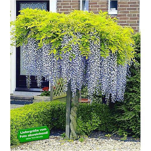 Baum Garten Amazonde