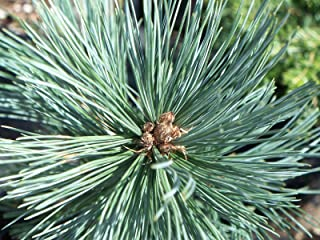 HOT - Pinus flexilis reflexa Southwestern White Pine Tree Seeds