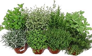 Kit 8 Plantas Aromáticas: Lavanda, Romero, Tomillo, Tomillo Limón, Salvia, Orégano, Menta y Hierbabuena
