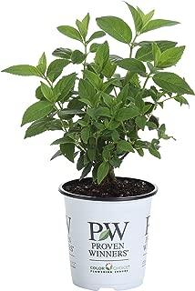 hydrangea paniculata fire light