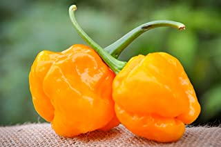 Papa Dreadie Scotch Bonnet Hot Pepper Premium Seed Packet + More