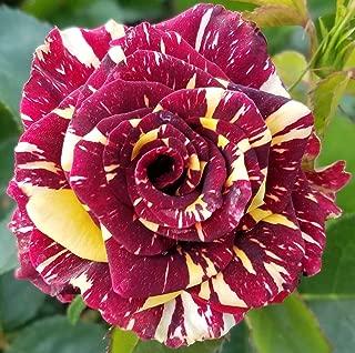 Best abracadabra rose plant Reviews