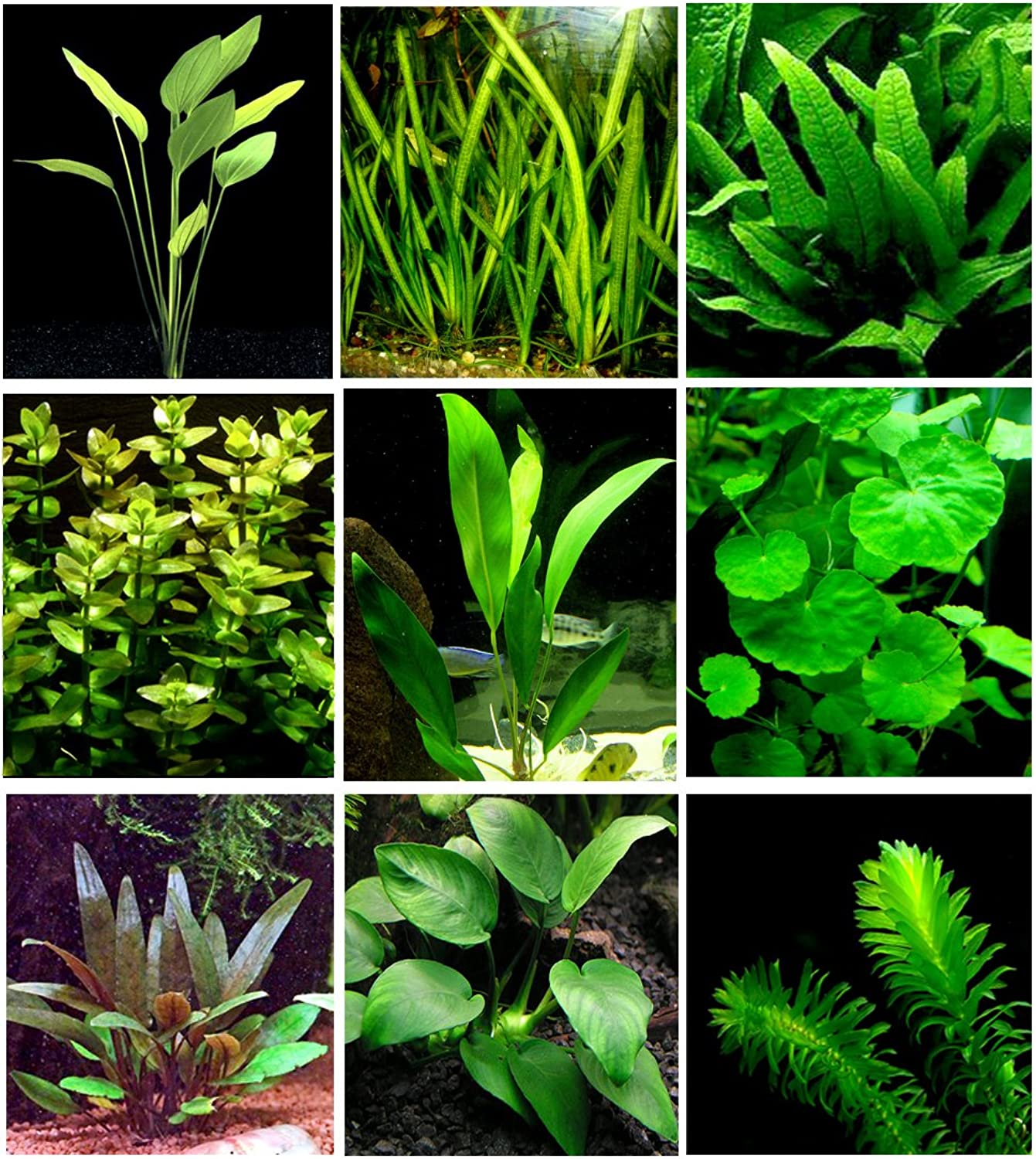 25 Live Aquarium Plants 9 Different Kinds  Amazon Swords, Anubias, Java Fern, Ludwigia and Much More  Great Plant Sampler for 1015 gal Tanks