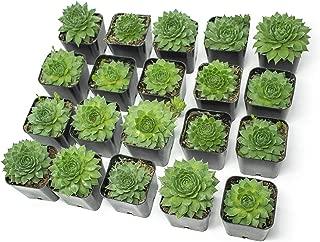Fractal Succulents(20 Pack) Live Sempervivum Houseleek SucculentRooted in Pots | Flowering Plant Leaves /Geometric Rosettes by Plants for Pets