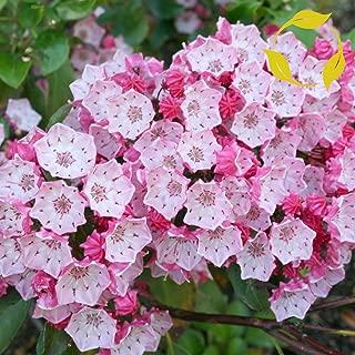 Mountain Laurel Kalmia Latifolia - 50+ Seeds