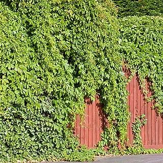 evergreen climbing ivy