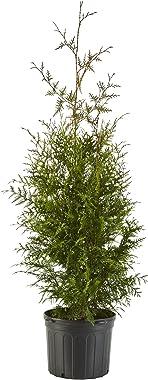 Shrub Giant Arborvitae 2.25 Gal, Green Foliage