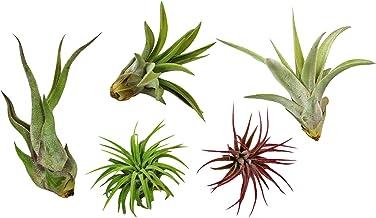 H910 AIR PLANT SEEDS Broméliacée 8 graines FILLE DE L/' AIR Tillandsia balbisiana