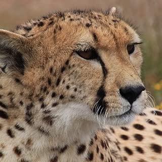 Best cute cheetah images Reviews