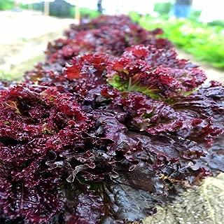 Leaf Lettuce Garden Seeds - Ruby Red - 1 Lbs - Non-GMO, Heirloom Vegetable Gardening & Salad Greens Microgreens Seed