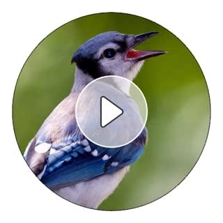 blue jay ringtone
