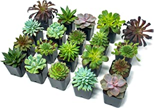 Succulent Plants (20 Pack) Fully Rooted in Planter Pots with Soil, Real Potted Succulents Plants Live Houseplants, Unique ...