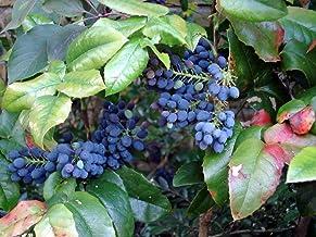 20 Oregon Holly Grape, Mahonia Aquifolium, Shrub Seeds (Edible, Hardy, Showy)
