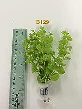 Lysimachia nummularia 'Aurea' Bundle Plants - B129 - BUY 2 GET 1 FREE Live Aquatic Plant