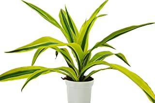Dracaena Deremensis 'Lemon Surprise' - Live House Plant - FREE Care Guide - 4