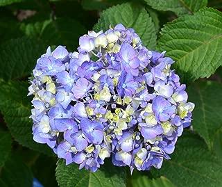Bloomstruck Hydrangea > Hydrangea macrophylla 'PIIHM-II' >Landscape Ready 2 Gallon Container
