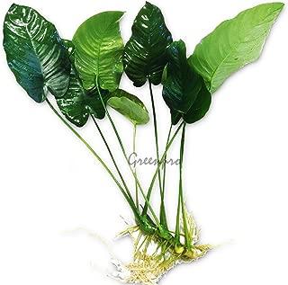 Greenpro Anubias Barteri Large | Broad Leaf Live Aquarium Plant for Freshwater Fish Tank