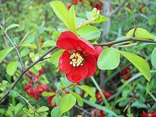 Best japanese red shrub Reviews