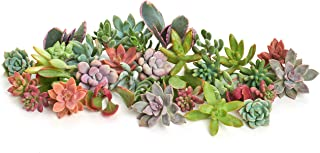Shop Succulents | Assorted Collection of Live Succulent Cuttings, Hand Selected Variety Pack of Cut Succulents, Great for Growing New Plants - DIY Gardening | Collection of 75