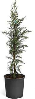 Brighter Blooms Italian Cypress Tree, 3-4 Ft. - Functional, Simple, Fragrant | Low-Maintenance | Dense Blue-Green Leaves | No Shipping to AZ