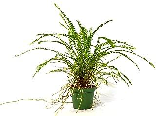 nephrolepis cordifolia duffii